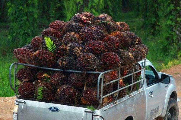 How to extract palm oil from palm fruit bunches?