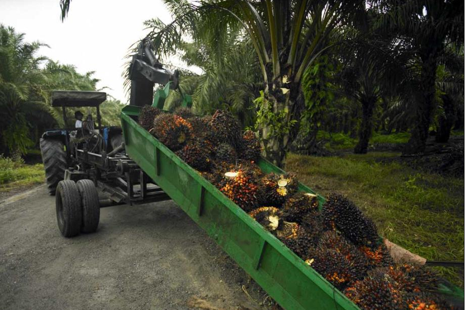Palm oil tree to extract palm oil