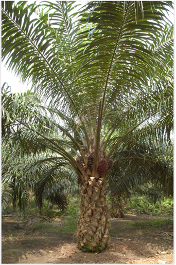 A brief introduction of palm oil plantation_Manufacture ...
