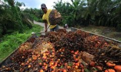 Palm oil industry in Ivory Coast, Africa