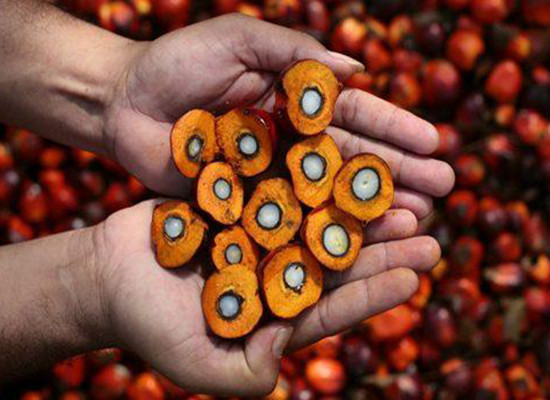 processing of date palm kernel dpk Biodiesel production from crude palm oil by transesterification process j applied sci, 9: 3166-3170  processing of date palm kernel (dpk) for production of.