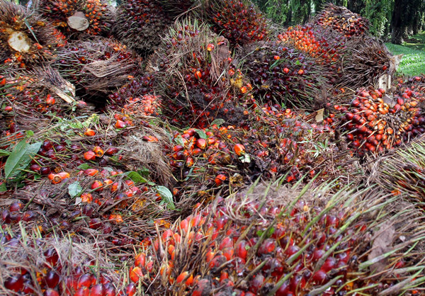 Fresh fruit bunches waitting for processing at palm oil mill