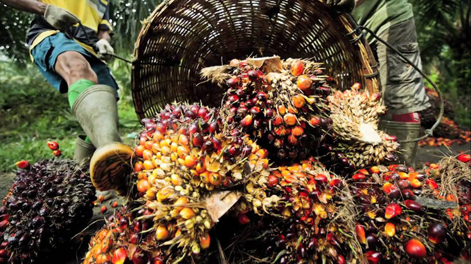 palm fruit bunches