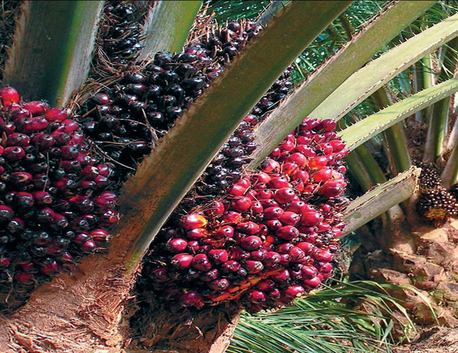 palm fruit bunches in trees