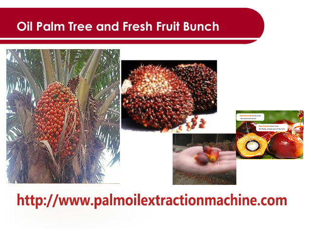 palm fruit and palm kernel