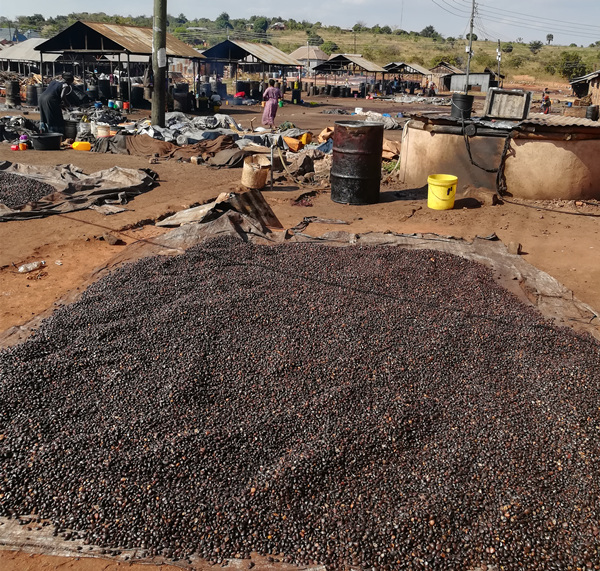 palm kernel should be basked under the sun before crushing